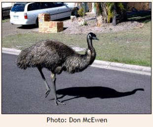 Emu walking along street